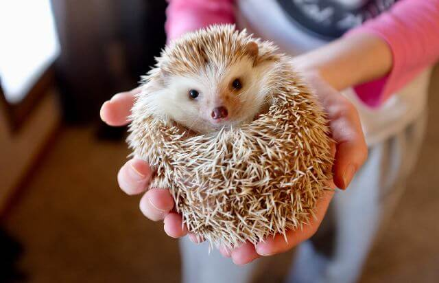 About Hedgehog As Pets 4