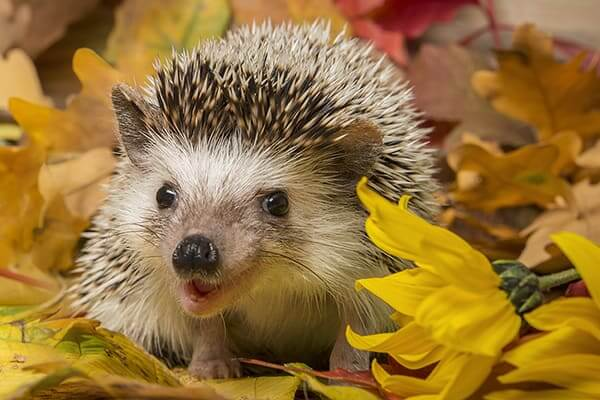 About Hedgehog As Pets 5