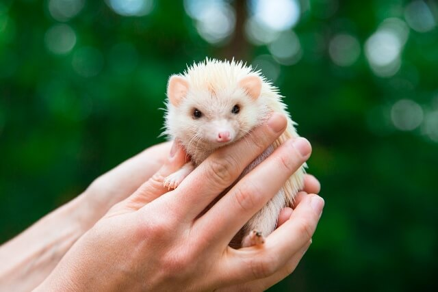 About Hedgehog As Pets 6