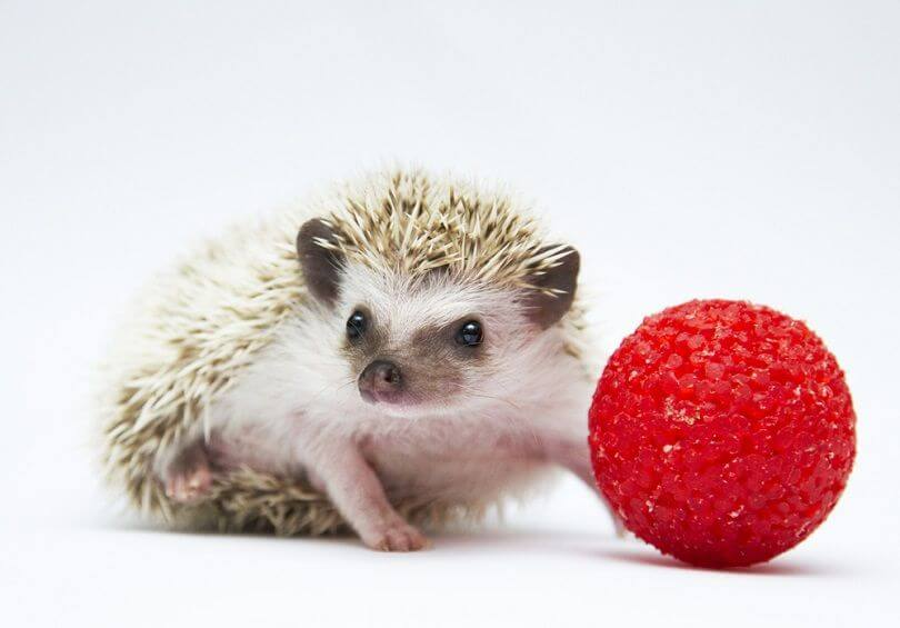 About Hedgehog As Pets 7