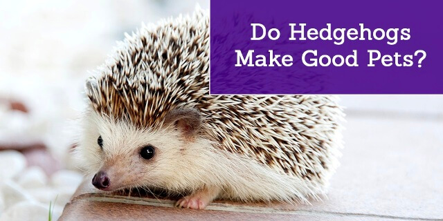 About Hedgehog As Pets 8