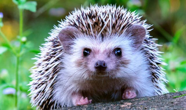 About Hedgehog As Pets 9