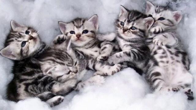 American shorthair cute cat