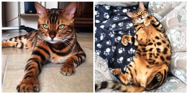 Bengal Cat Grooming