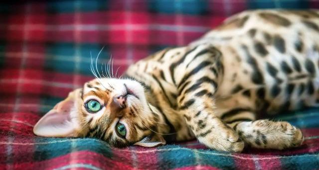Bengal Cat Health
