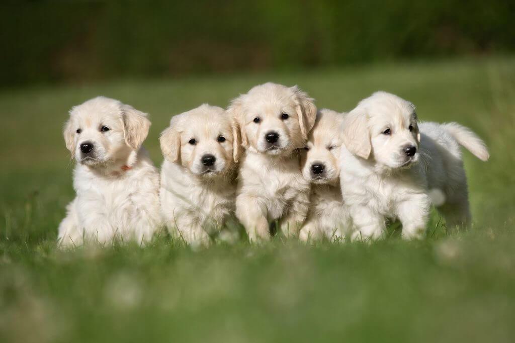 Best Golden Retriever Names 3