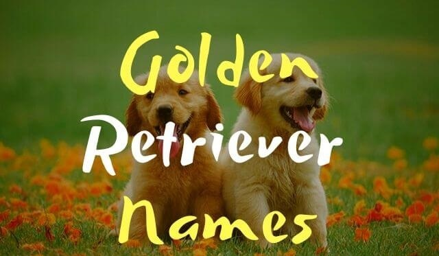 Golden Retriever Names 6