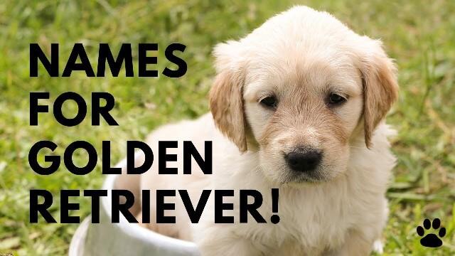 Golden Retriever Names 8