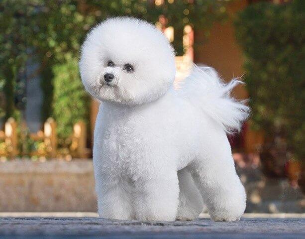 Bichon Frise Dog 1