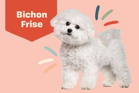 Bichon Frise Dog Breed 2