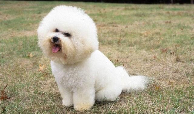 Bichon Frise Dog Breed 3