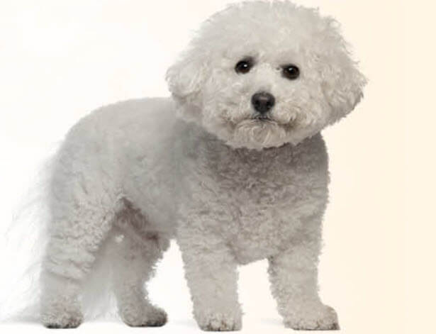 Bichon Frise Dog Breed 8