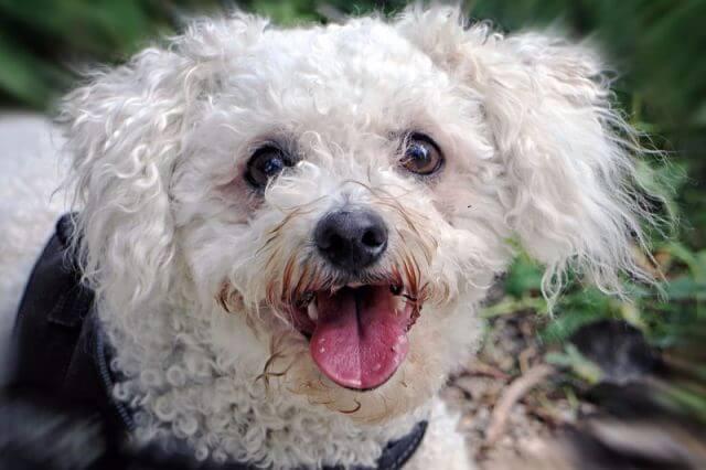 Bichon Frise Dog Breed 9