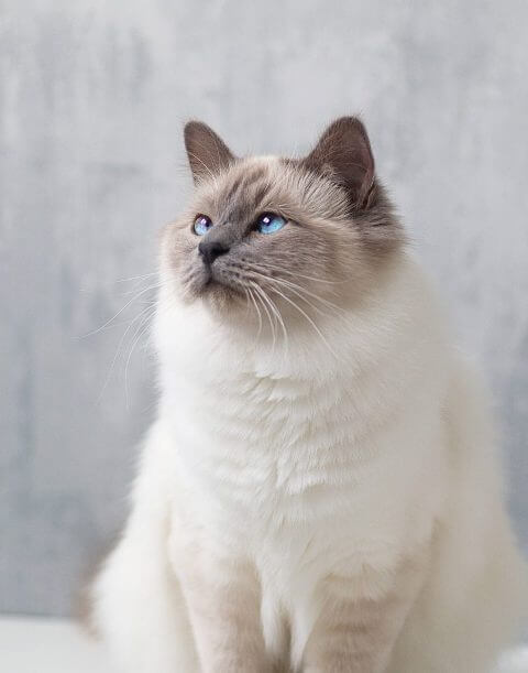 Birman Cutest Cat