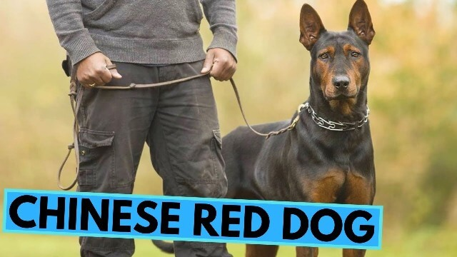 Chinese Red Dog 2