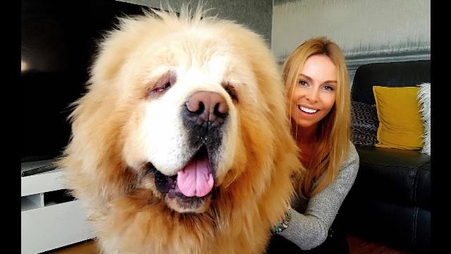 Chinese Tibetan Mastiff 1
