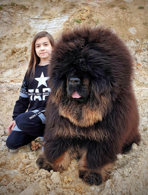 Chinese Tibetan Mastiff 2