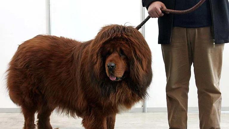 Chinese Tibetan Mastiff 3