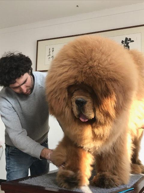 Chinese Tibetan Mastiff Dog 1