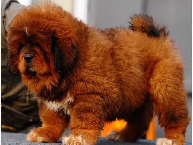 Chinese Tibetan Mastiff Dog 3