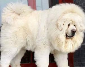 Chinese Tibetan Mastiff Dog 4