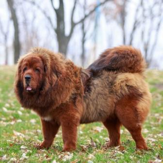 Chinese Tibetan Mastiff Dog 5