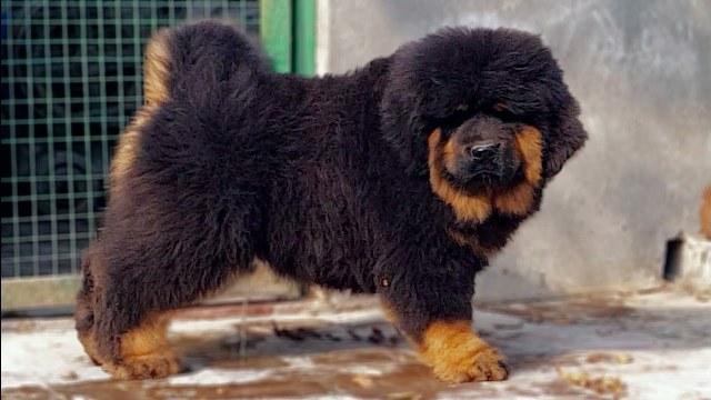 Chinese Tibetan Mastiff Dog