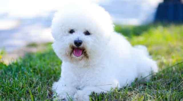 Fluffy Bichon Frise White Dog