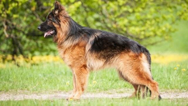 German Shepherd Double Coat 3