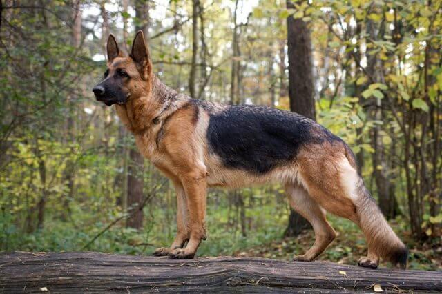 German Shepherd Double Coat