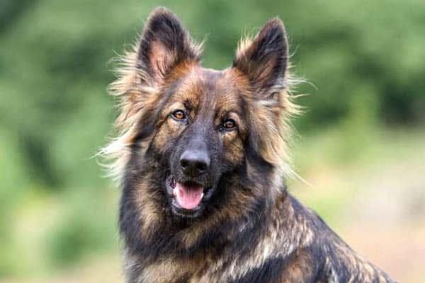 German Shepherd Tail 3