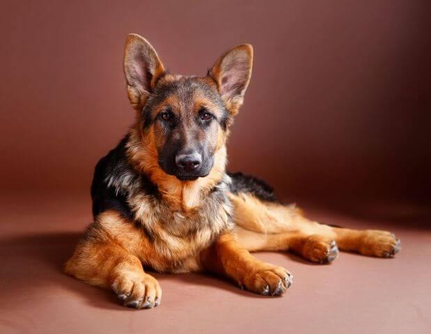 German Shepherd Tail 5