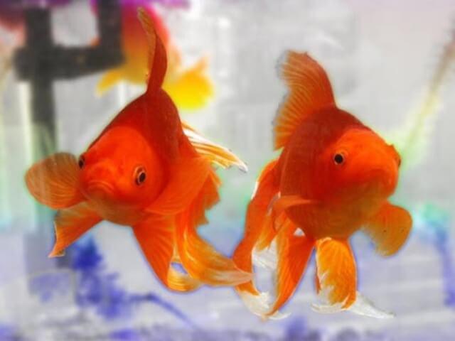 Goldfish Care Tips