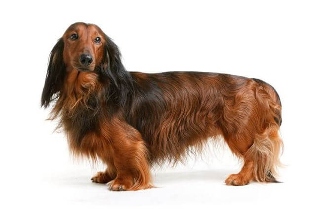 Long Haired Dachshunds Shed 1