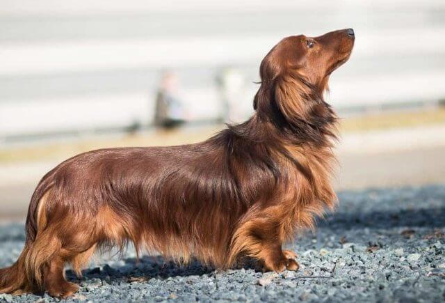 Long Haired Dachshunds Shed 2