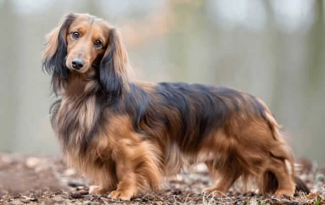 Long Haired Dachshunds Shed 3