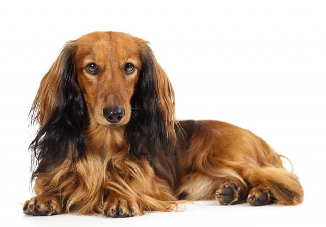 Long Haired Dachshunds Shed 4