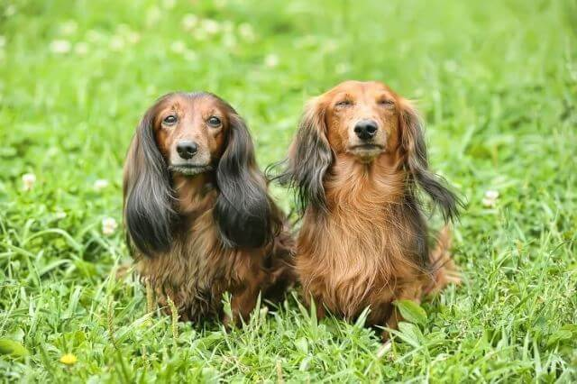 Long Haired Dachshunds Shed 5