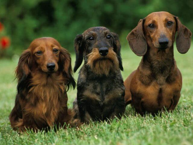 Long Haired Dachshunds Shed