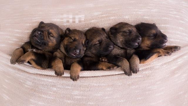 Newborn German Shepherd 3