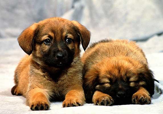 Newborn German Shepherd 4