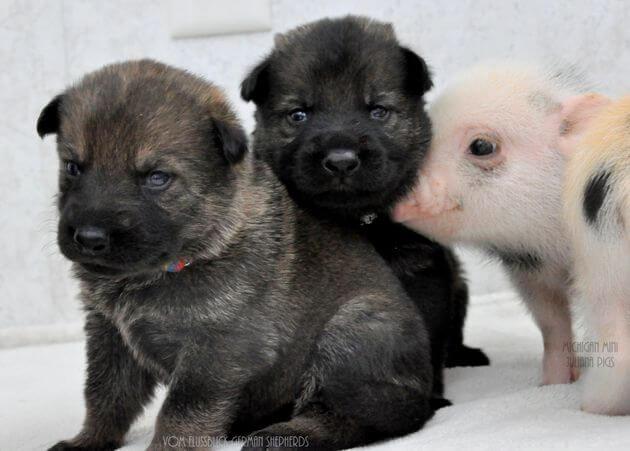 Newborn German Shepherd 5