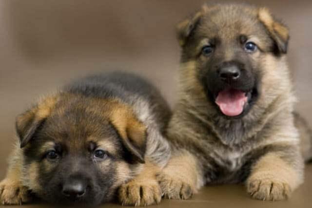 Newborn German Shepherd Puppies 4