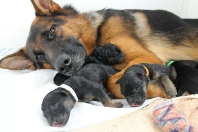 Newborn German Shepherd Puppies 5