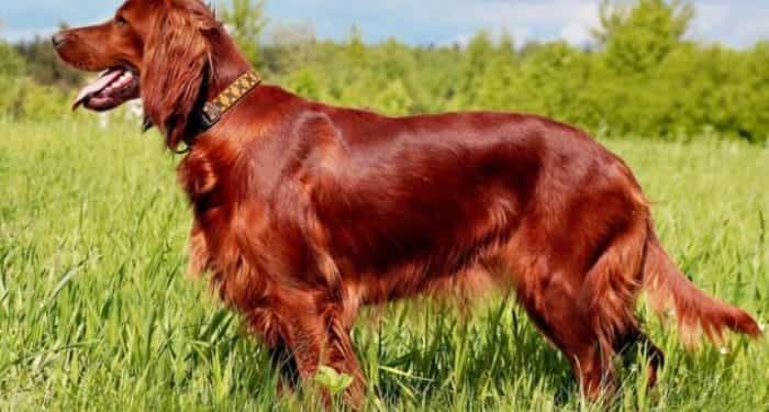 Red Dog Breeds 1