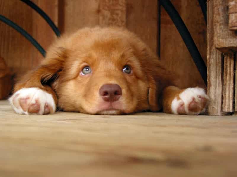 Red Dog Breeds 3