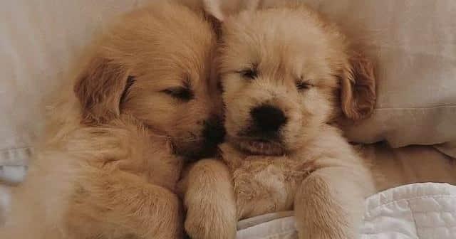 Red Golden Retriever Puppies 1