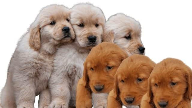Red Golden Retriever Puppies 2