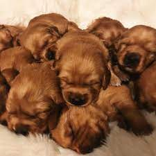 Red Golden Retriever Puppies 3