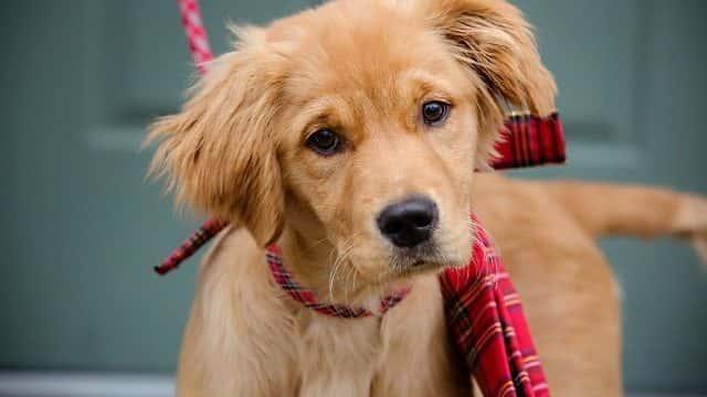 Red Golden Retriever Puppies 7